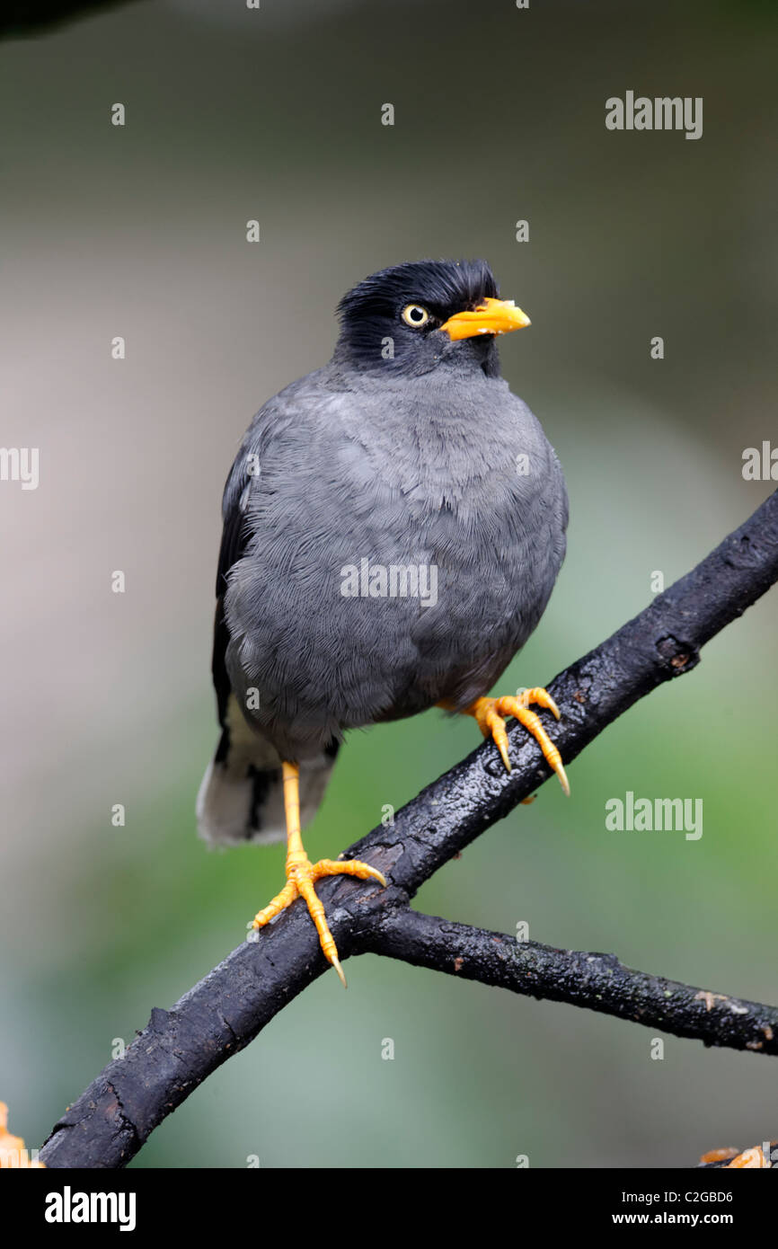 Common myna, Acridotheres tristis, single captive bird on branch, Indonesia, March 2011 - Stock Image