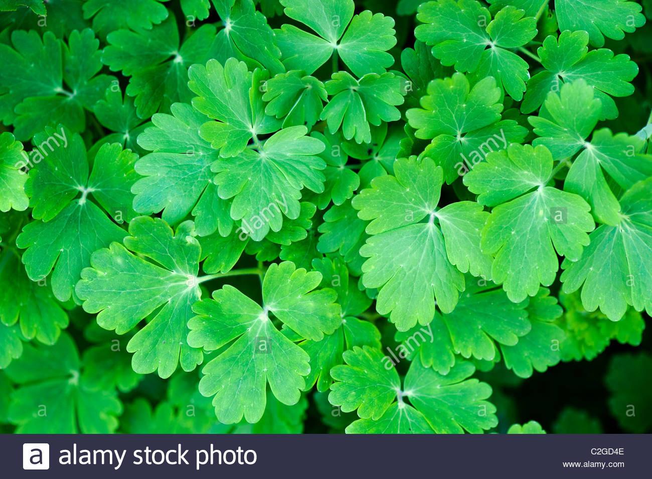 Columbine Leaves Stock Photos Columbine Leaves Stock Images Alamy