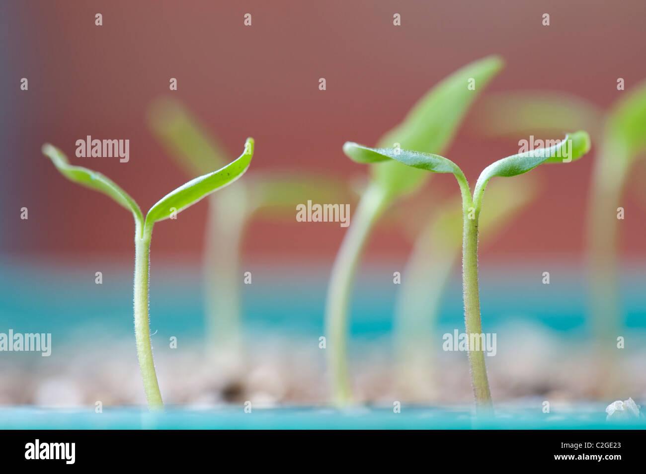 Capsicum annuum. Orange baby pepper seedlings - Stock Image