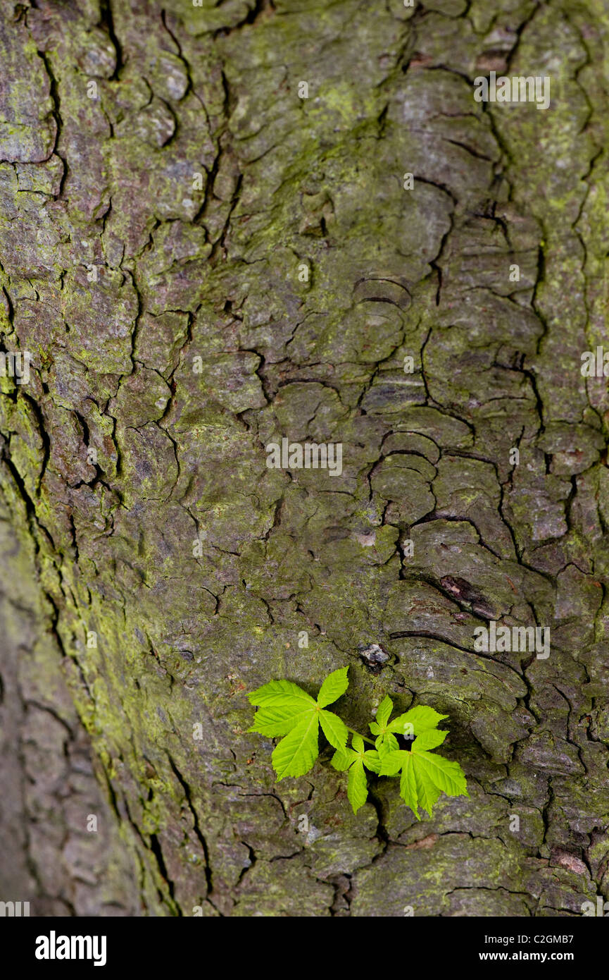 Close-up image of a Horse Chestnut Tree - Aesculus hippocastanum or Conker Tree, showing fresh spring green foliage Stock Photo