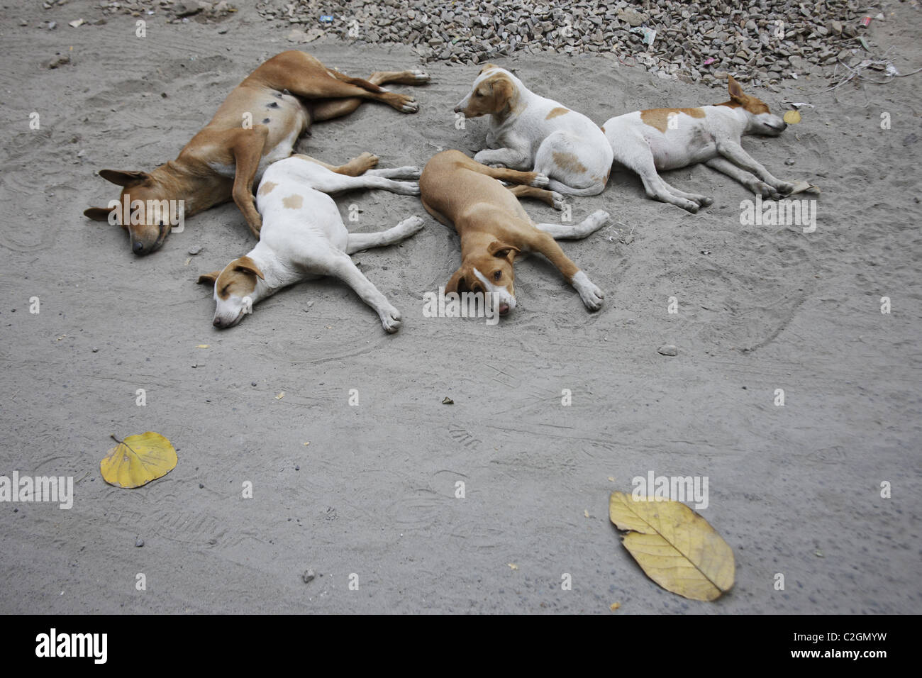 IND, India,20110310, pack of dogs - Stock Image