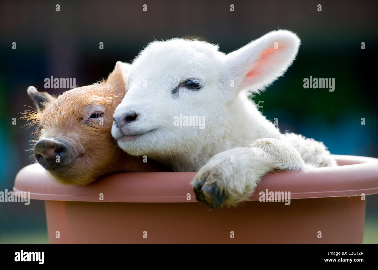 A cute newborn baby piglet and lamb cuddle on a farm, Devon, UK - Stock Image