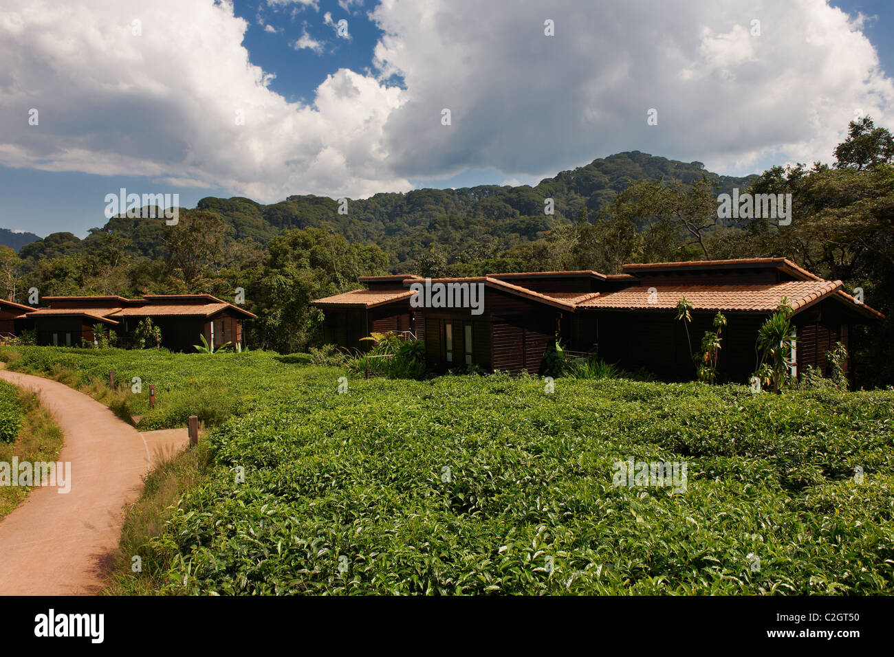 guest houses of five star luxury Nyungwe Forest Lodge between tea plantation, Parc National de Nyungwe, Rwanda, - Stock Image