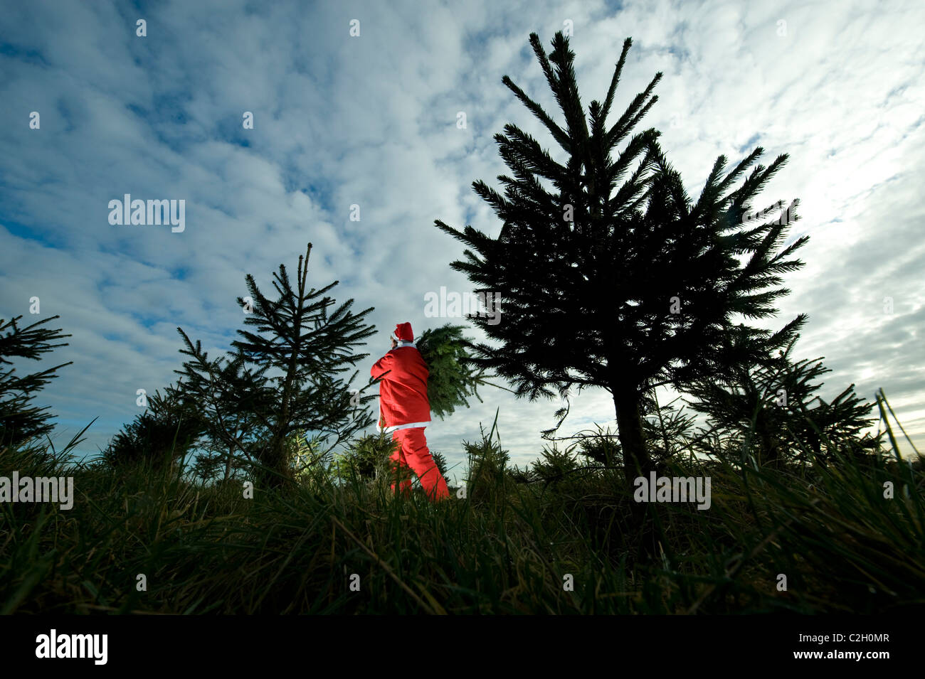A Christmas tree grower dressed up as father Christmas wanders through firs at Bradworthy, Devon - Stock Image