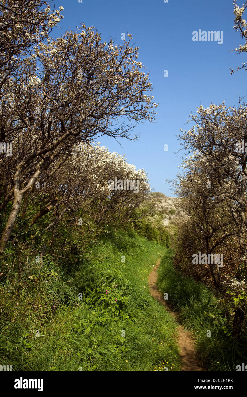 Green footpath hedgerows island Sark Channel Islands - Stock Image