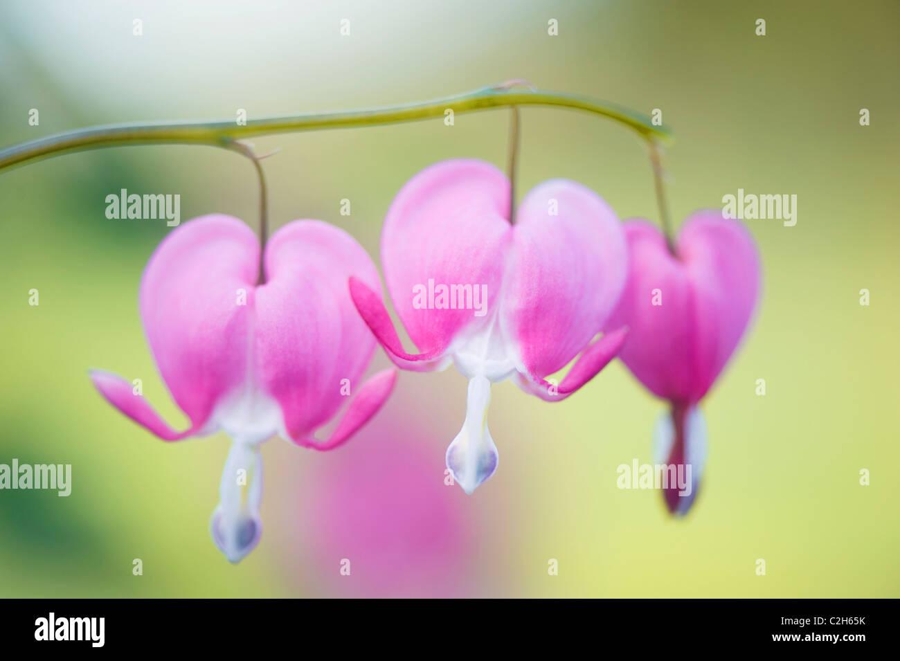 Dicentra Spectabilis -  Bleeding Heart, Loves Lies Bleeding - Stock Image