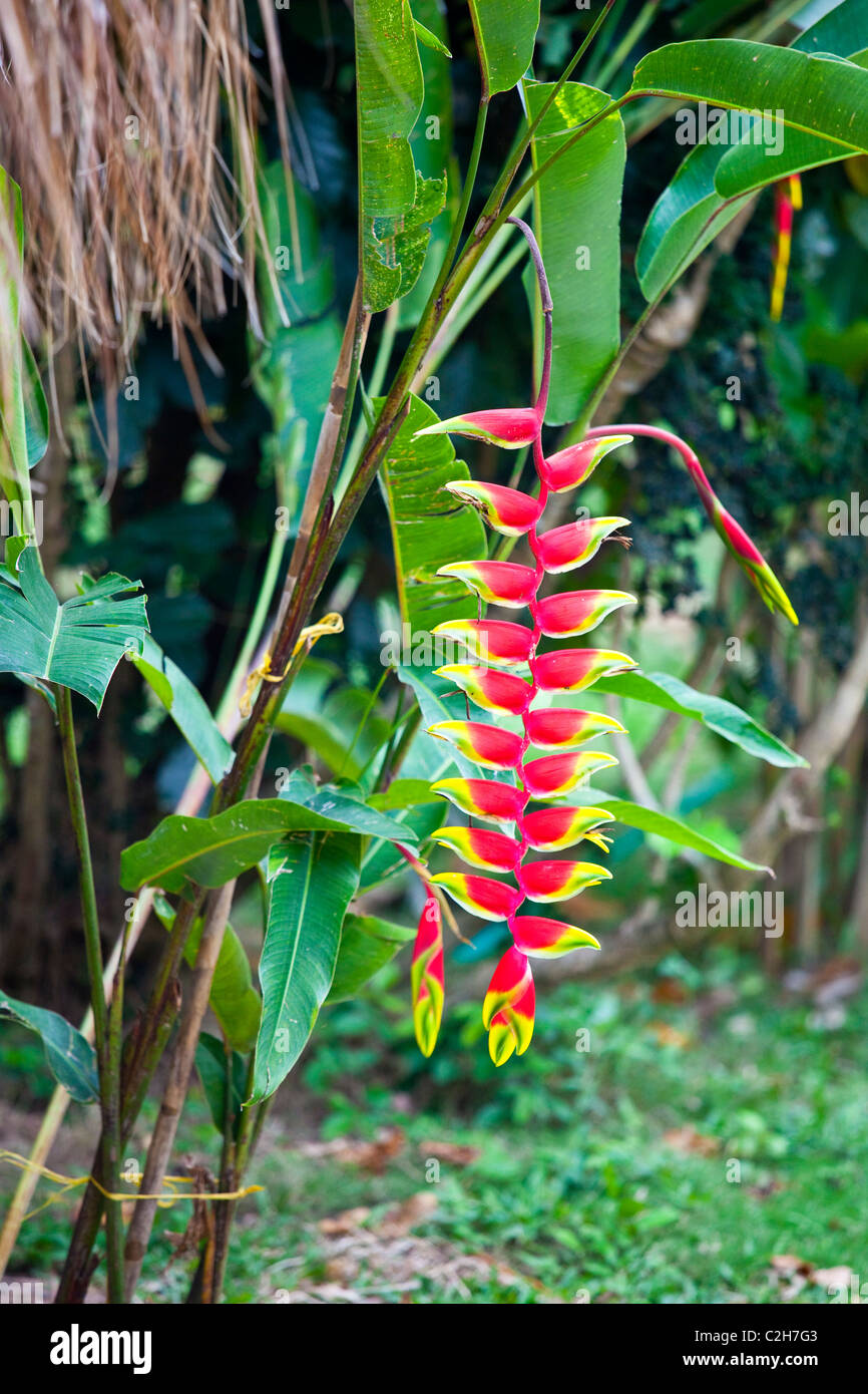 Heliconia pendula, Tayrona National Park in Colombia - Stock Image