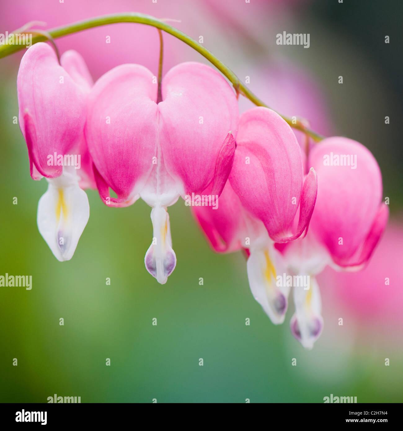 Lamprocapnos spectabilis, Dicentra Spectabilis -  Bleeding Heart, Loves Lies Bleeding pink flowers - Stock Image