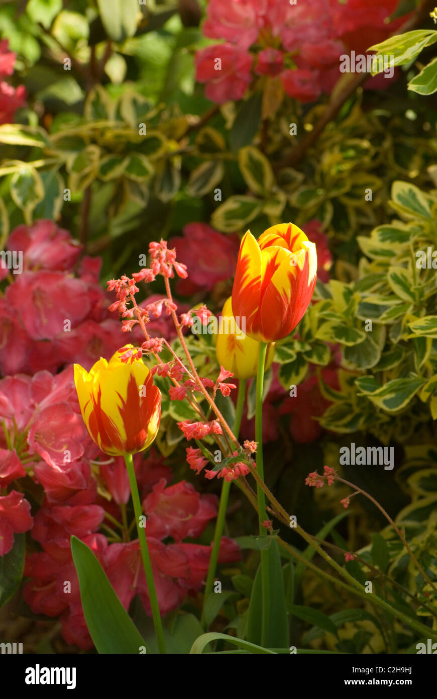'Holland Queen' Tulips and rhododendrons - Stock Image