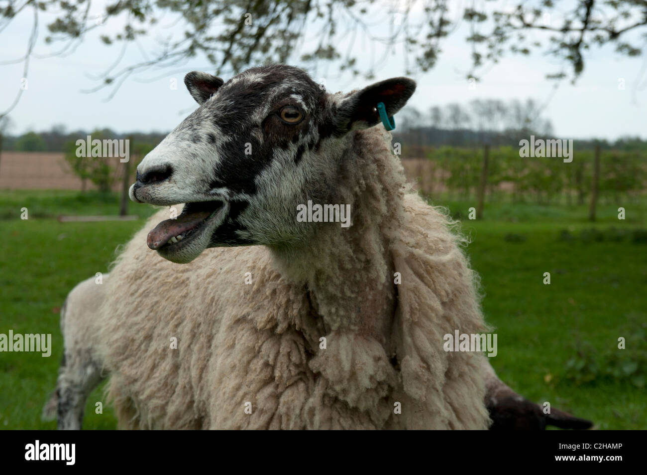 sheep with newborn lambs in Old Kent Cherry Orchard planted in the 1940s, in blossom England UK - Stock Image