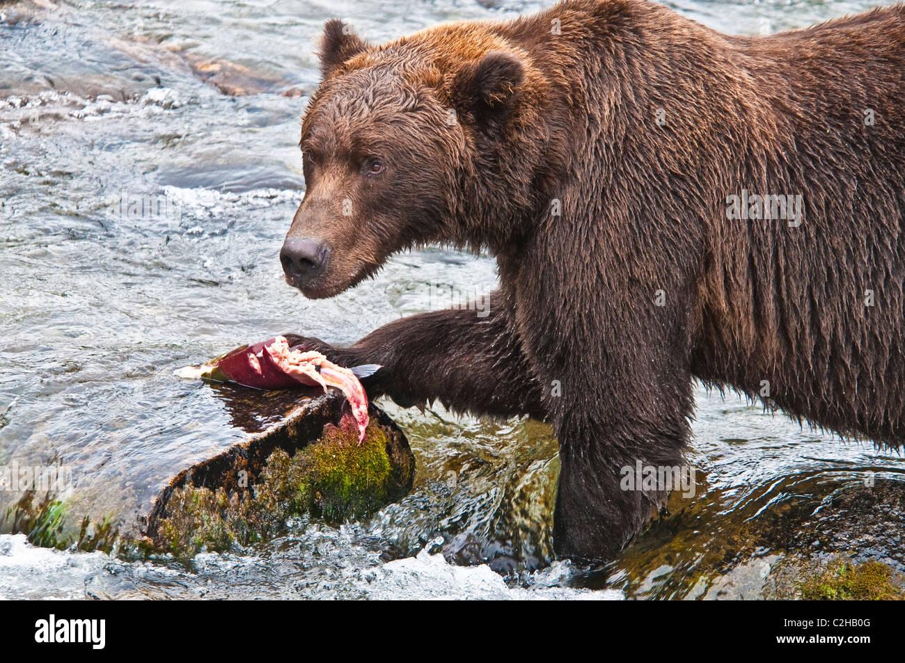 Grizzly Bear, Ursus arctos horriblis, catching Salmon, Brooks River, Katmai National Park, Alaska, USA Stock Photo