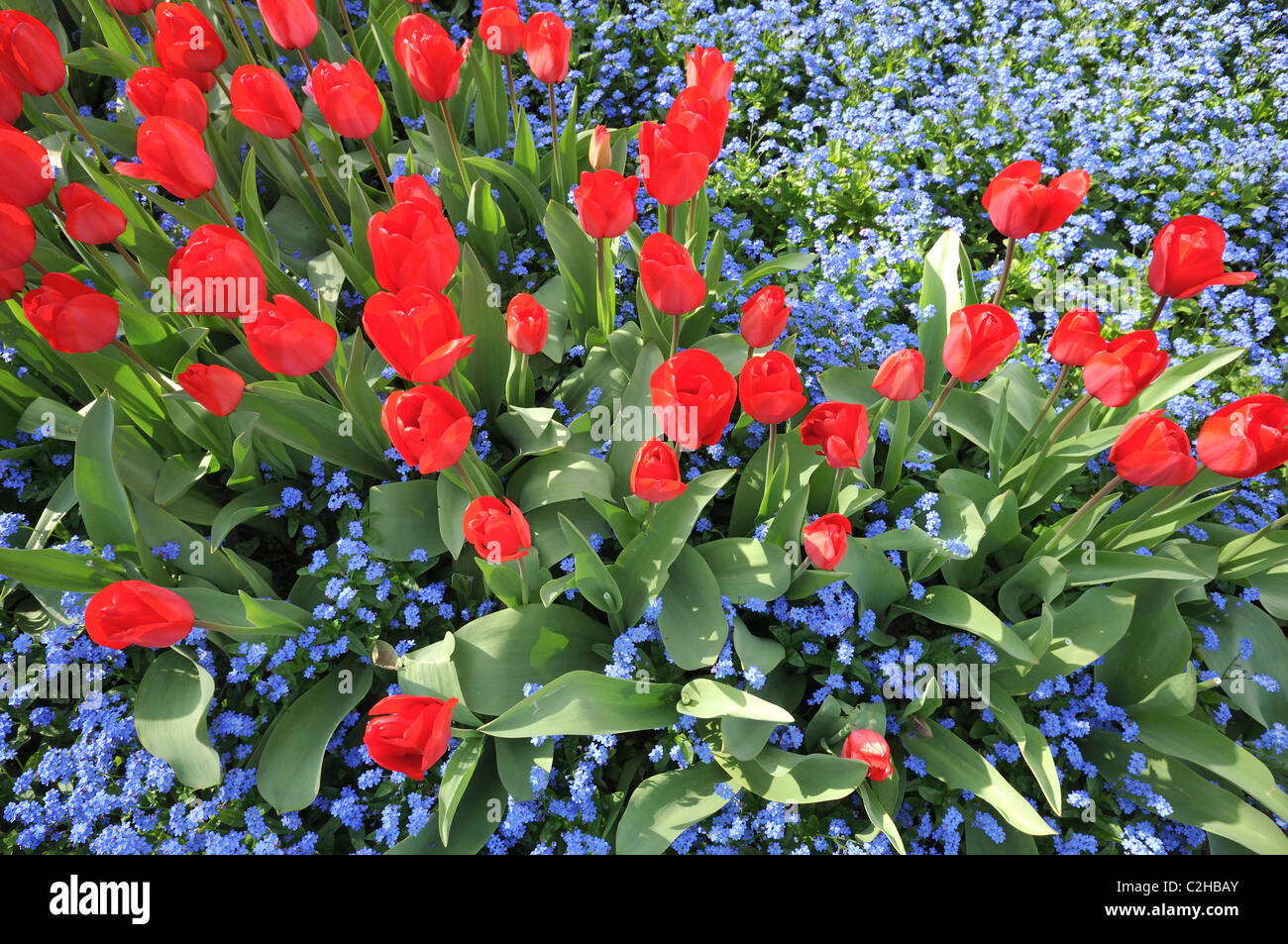 Tiny blue flowers stock photos tiny blue flowers stock images alamy red tulips latin name tulipa and tiny blue flowers forget me not izmirmasajfo