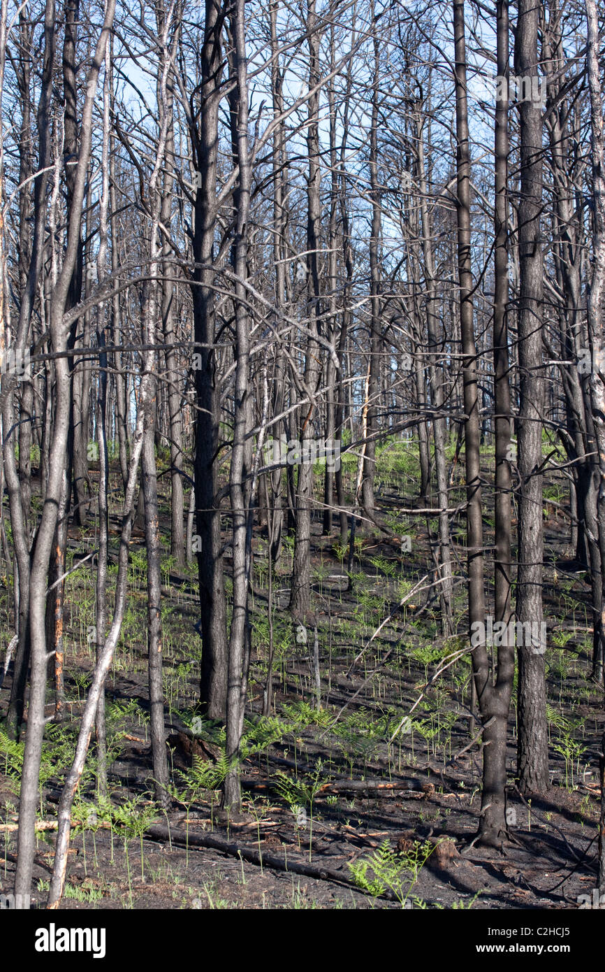 Freshly burned Jack Pine Forest Pinus banksiana Northern Michigan USA - Stock Image
