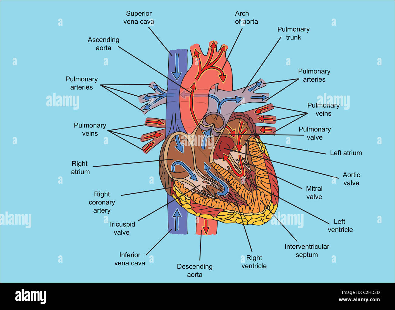 Structure Of Human Heart And Blood Flow Illustration Stock Photo