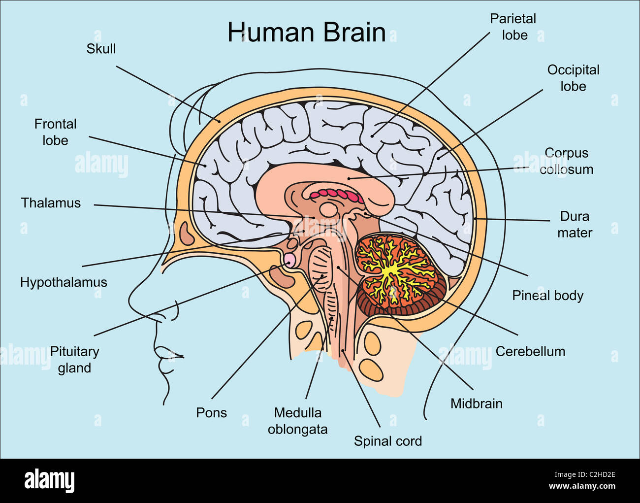 structure and functions of the brain worksheet Brain structure functions worksheet directions: go to real anatomy and select nervous you can use the related images section to find images of the skull if you need help navigating real anatomy, click on take a tour or click the question mark for the help menu.