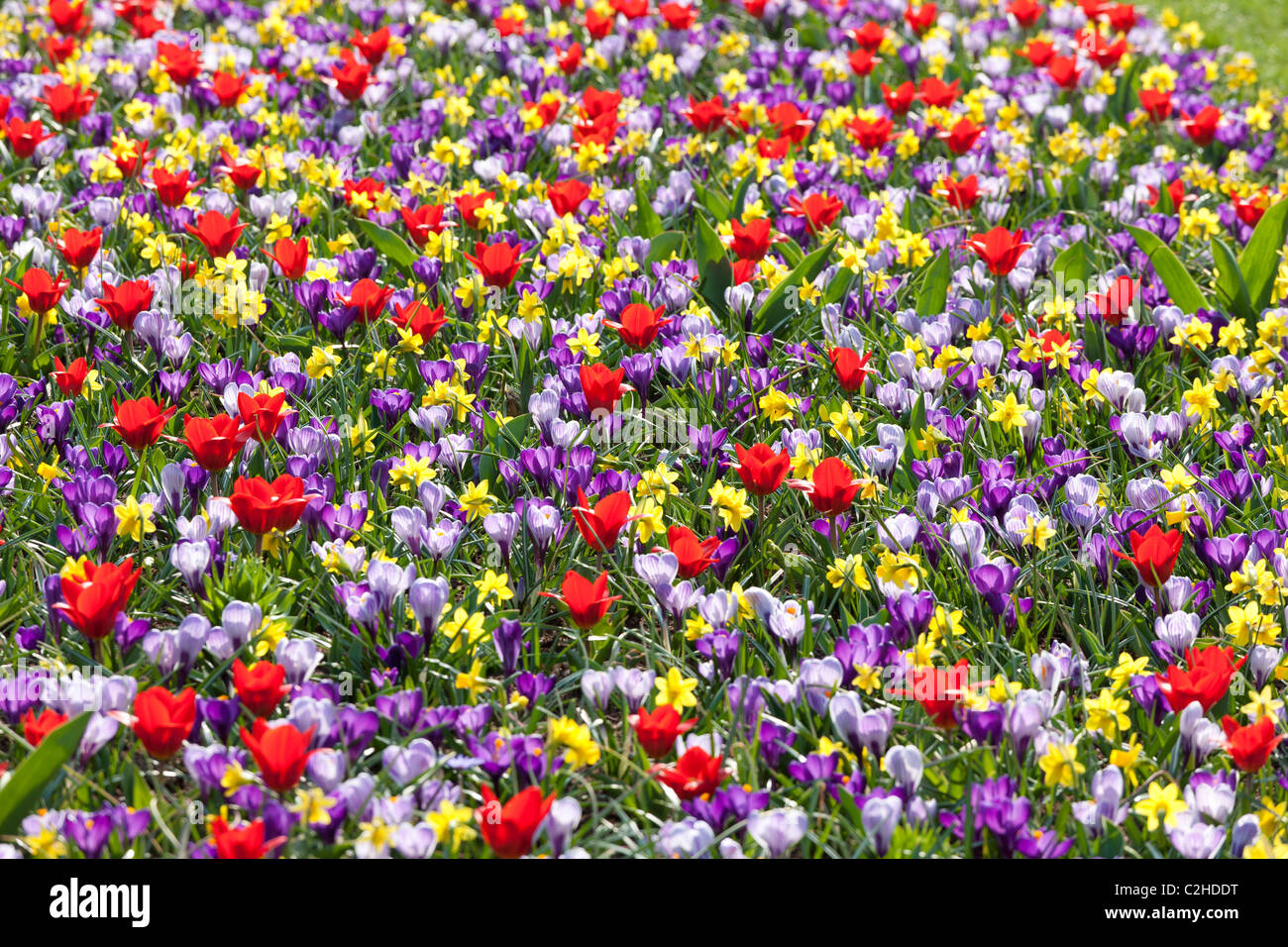A mixed flower bed with daffodils tulips and crocuses like a wild meadow. Keukenhof Bulb Garden in Lisse Holland - Stock Image