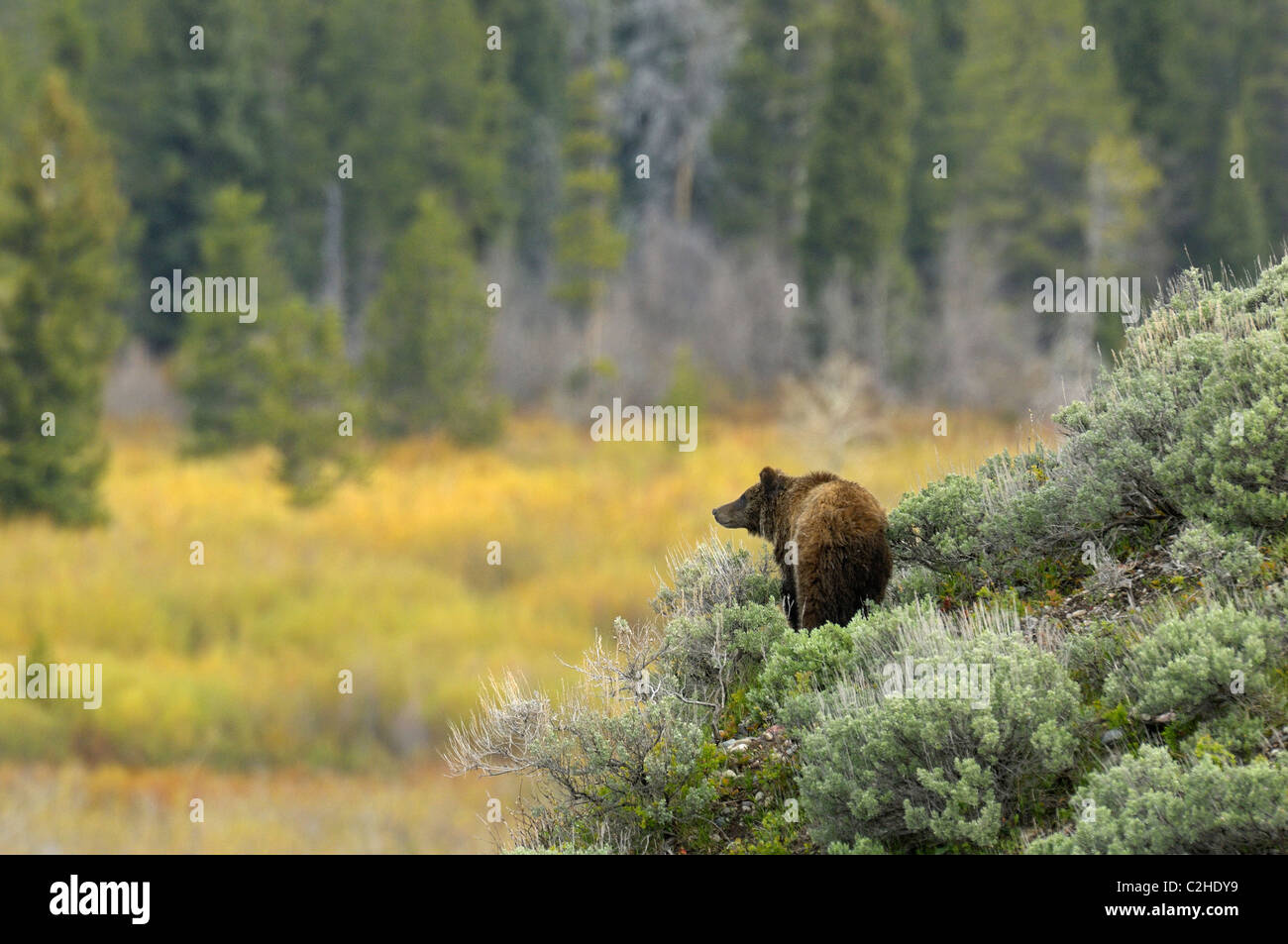 Grizzly Bear pastel - Stock Image