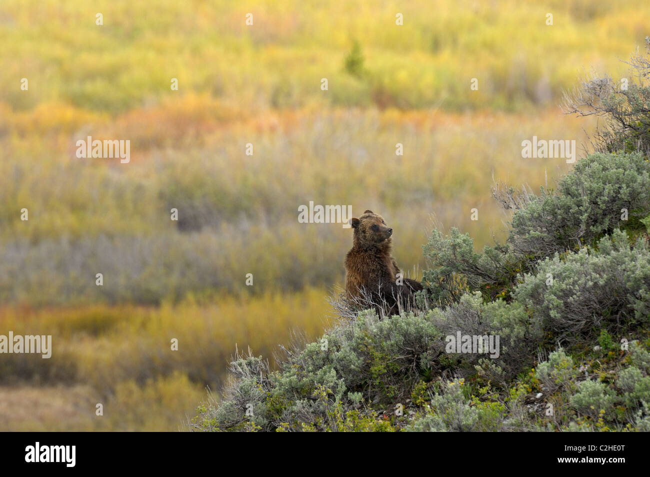 Grizzly Bear hillside seat - Stock Image