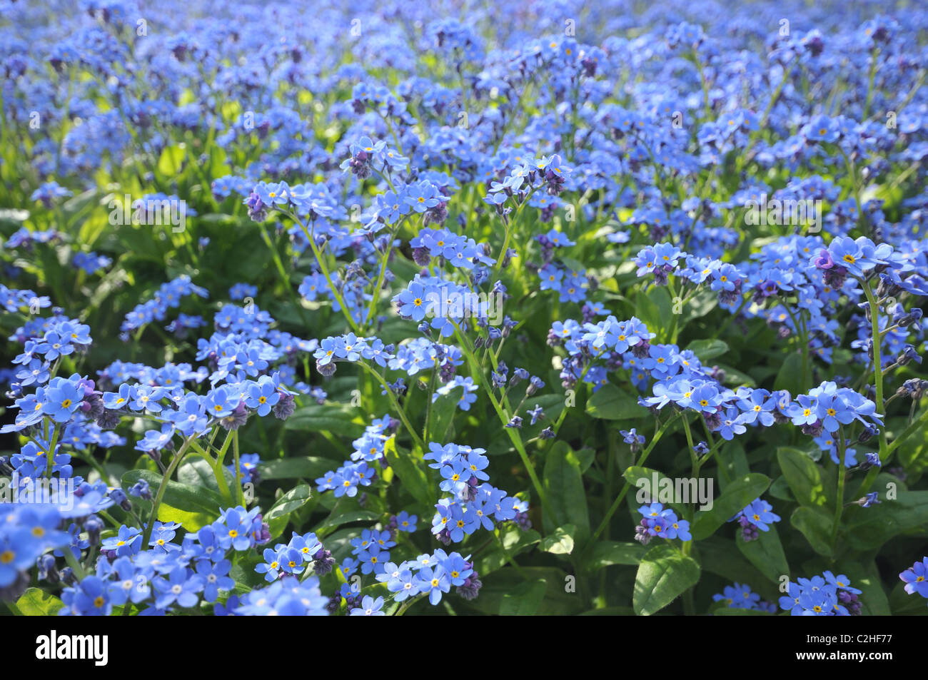Forget Flowers Tiny Blue Flower Stock Photos Forget Flowers Tiny