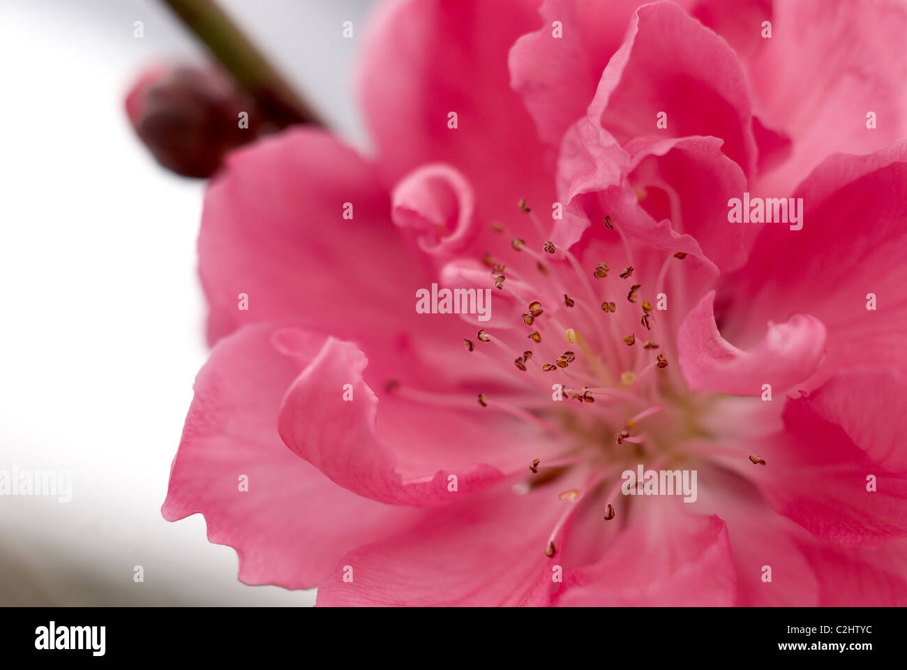 Ornamental pink peach tree blossom - Stock Image