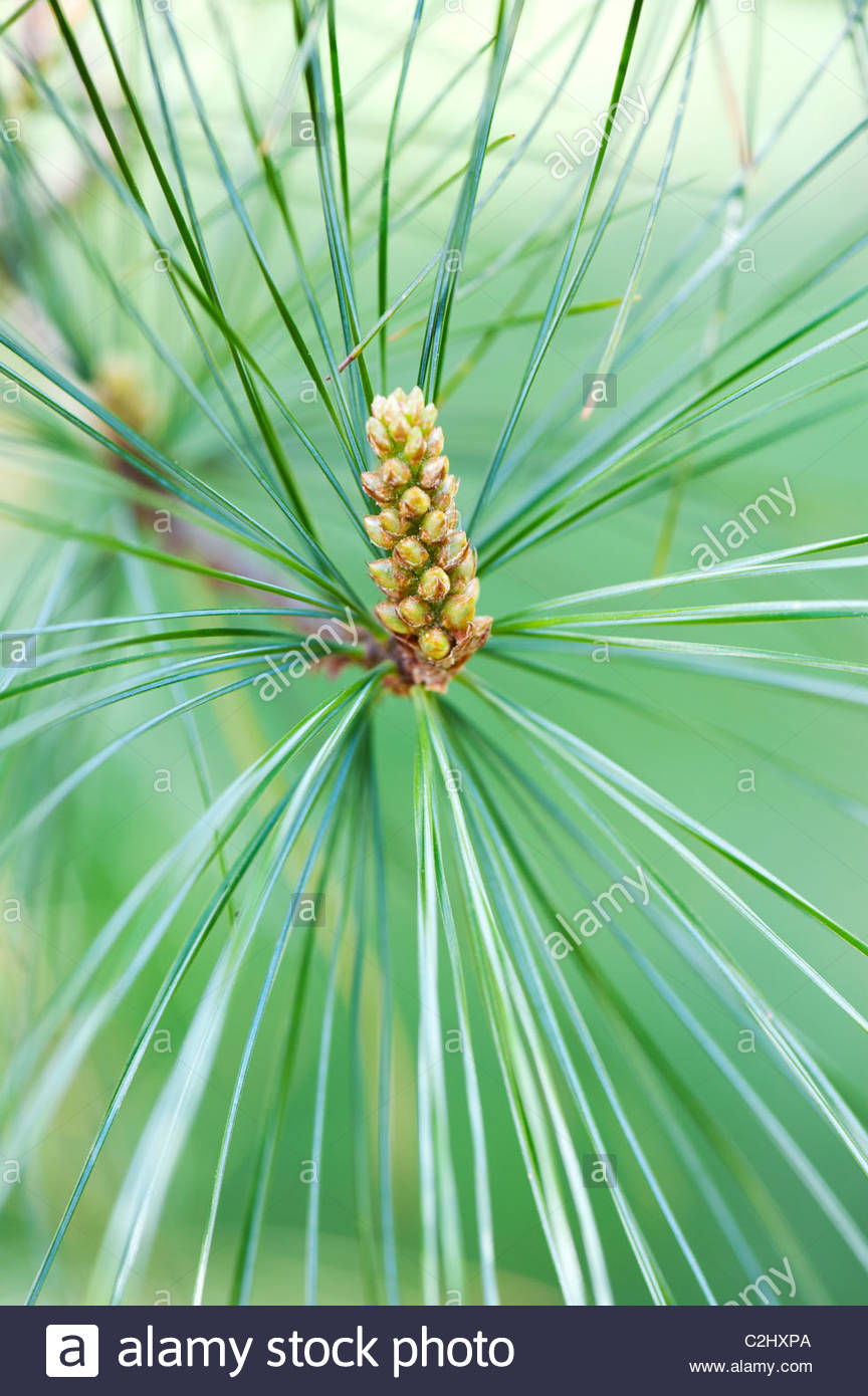 Pinus Armandii. Chinese White Pine tree male flower cones in spring - Stock Image