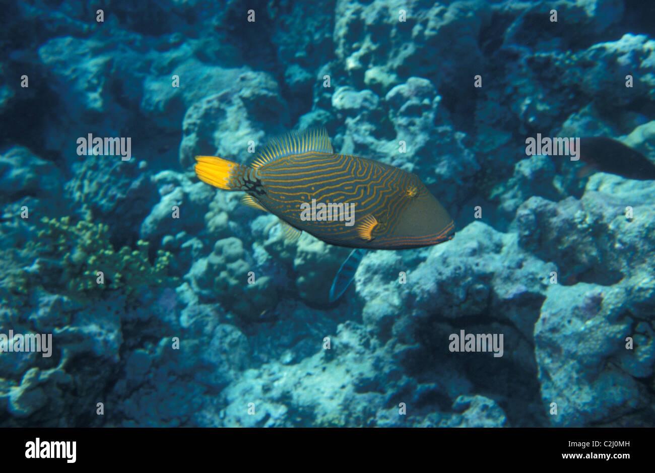 orange lined triggerfish orange striped triggerfish undulated