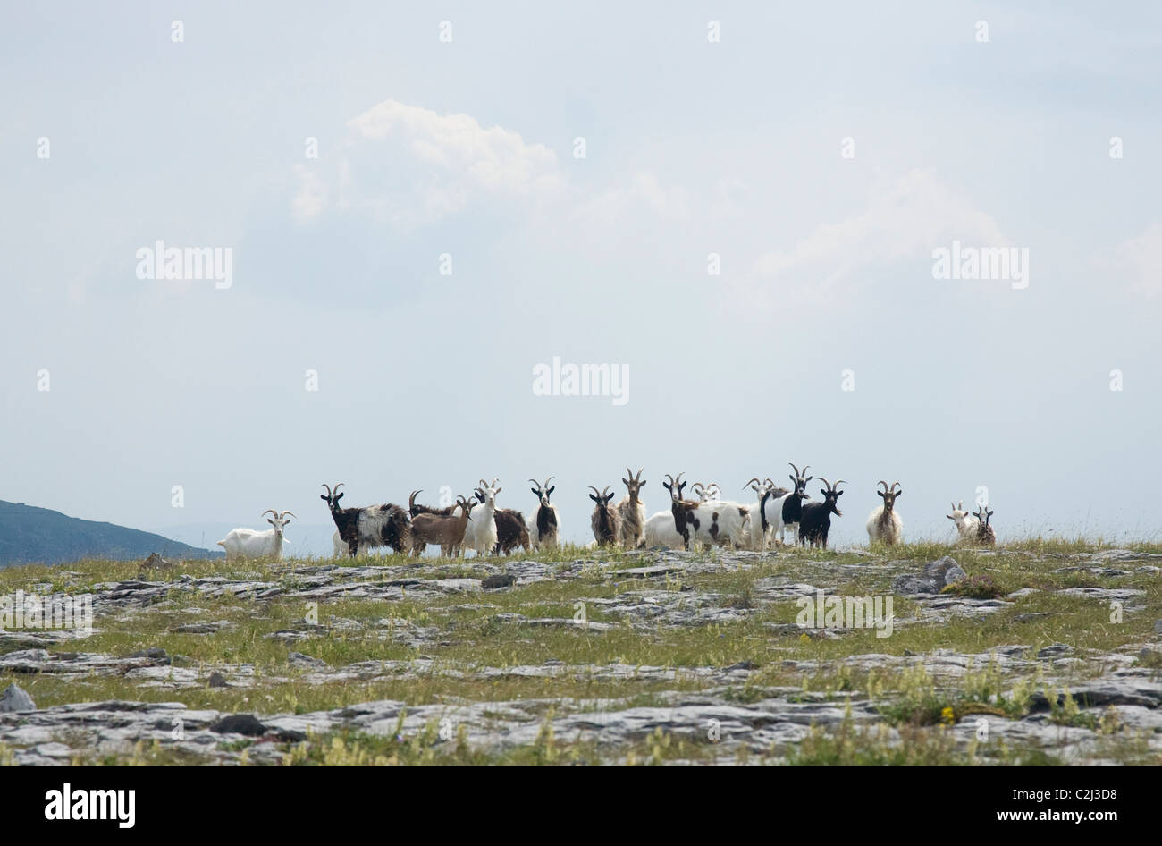 Herd of feral goats, Turlough Hill, The Burren, County Clare, Ireland. - Stock Image
