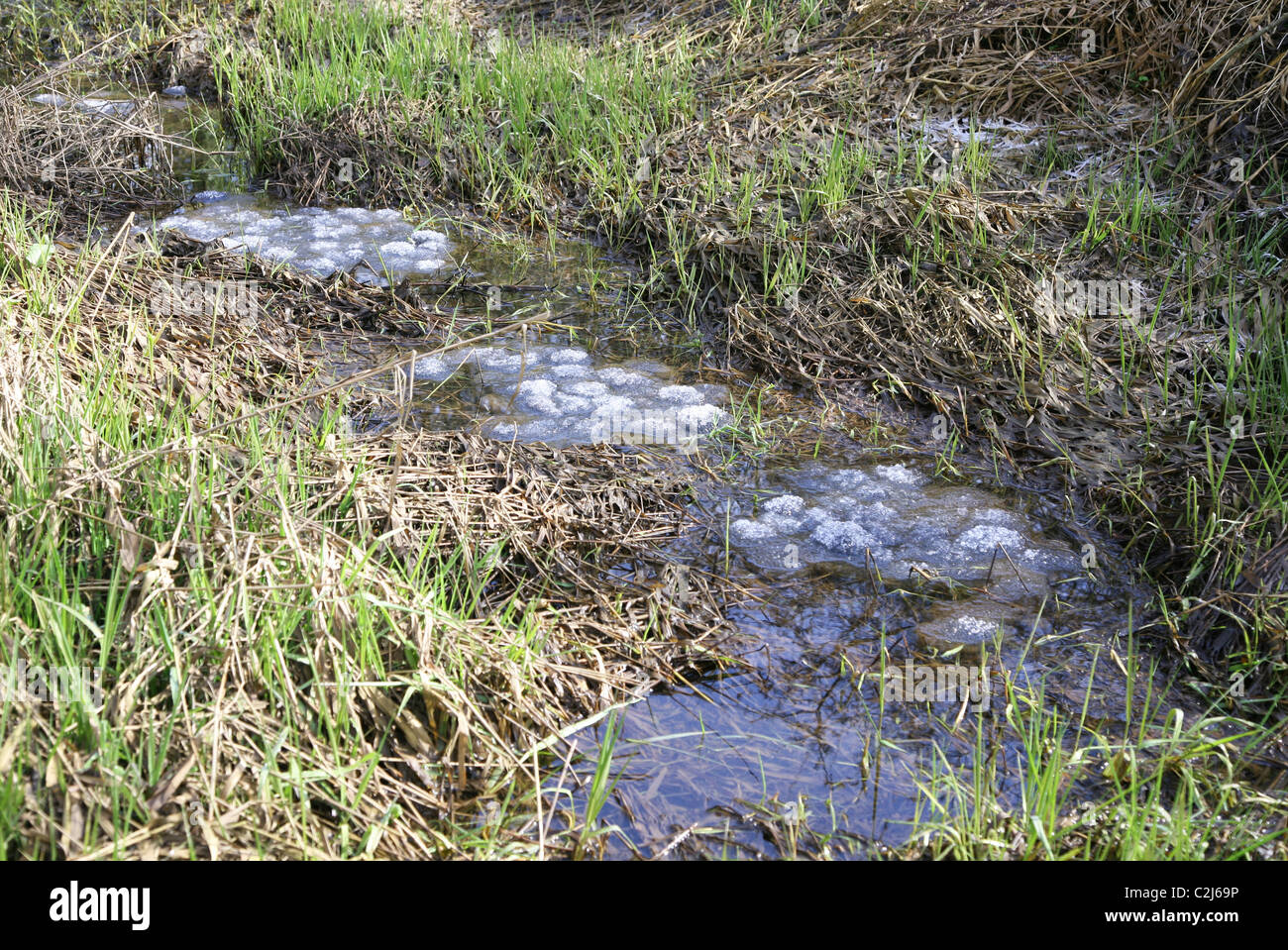 Frozen frog spawn, or frogspawn in water - Stock Image