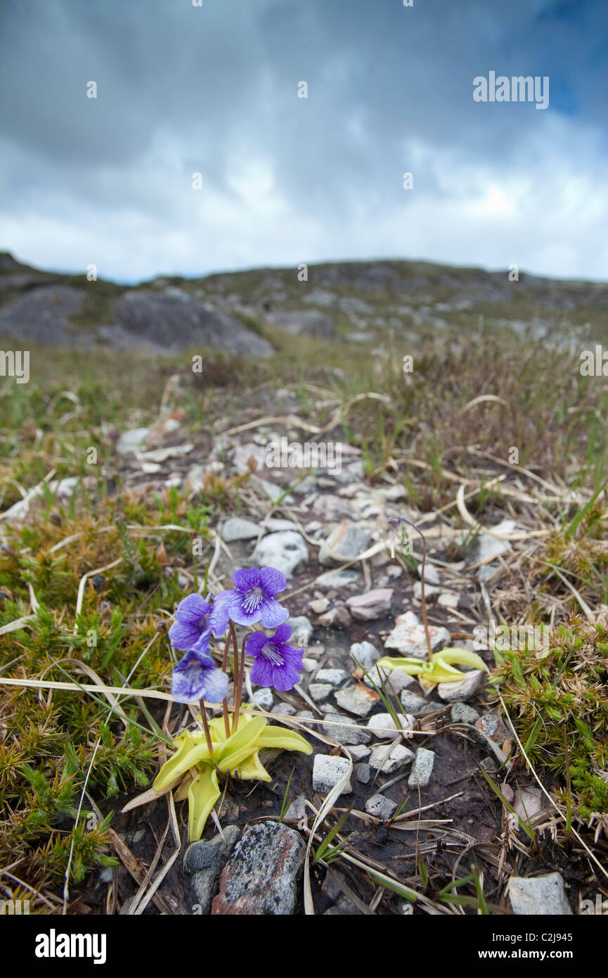 Common Butterwort (pinguicula vulgaris) growing on a mountain slope, Sheep's Head Peninsula, County Cork, Ireland. - Stock Image