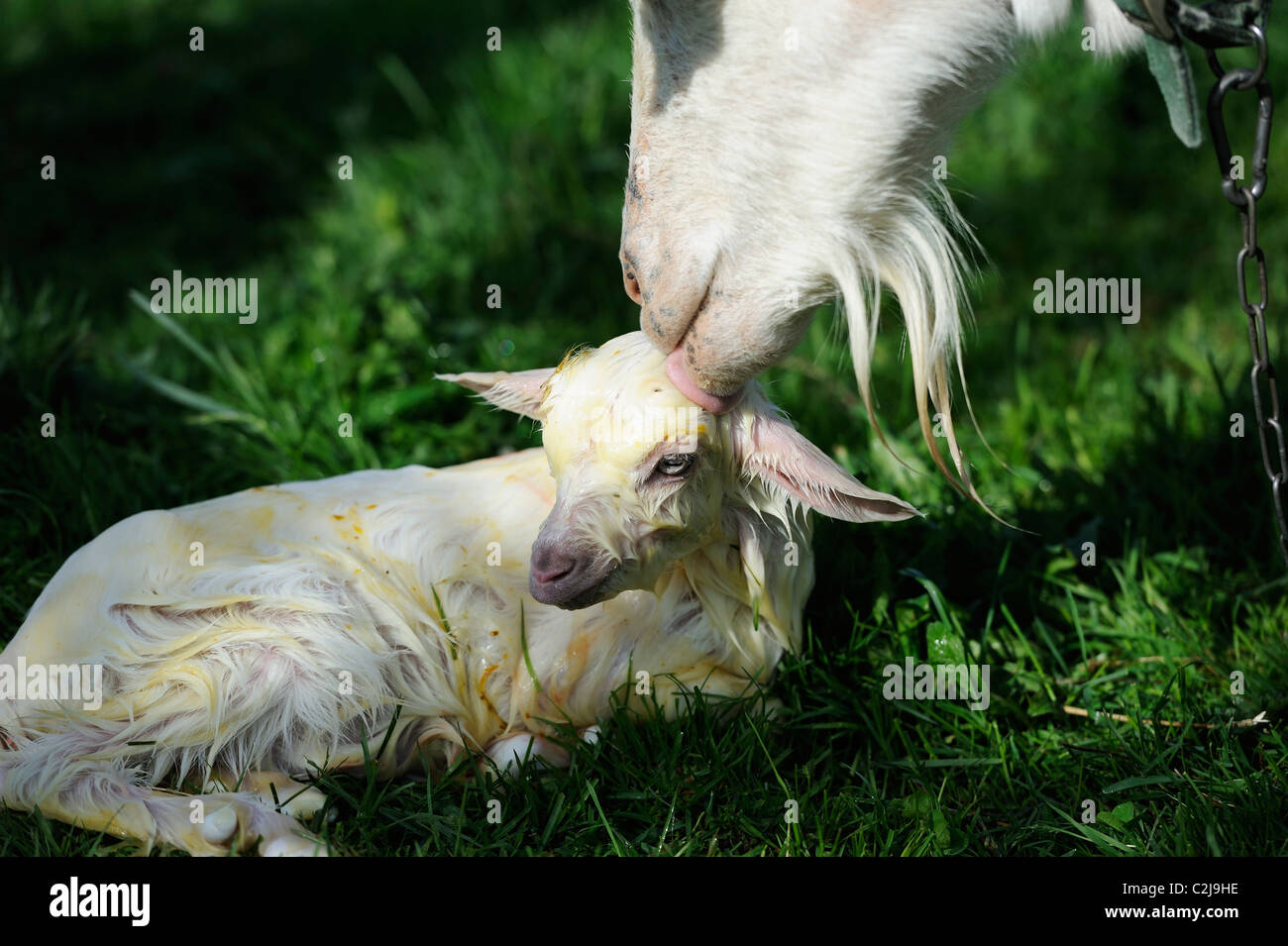 Stock photo of a Nanny goat cleaning her newborn saanen kid. - Stock Image
