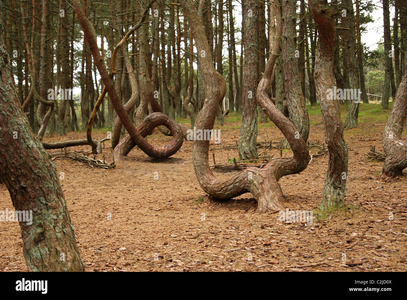 Dancing forest - Stock Image