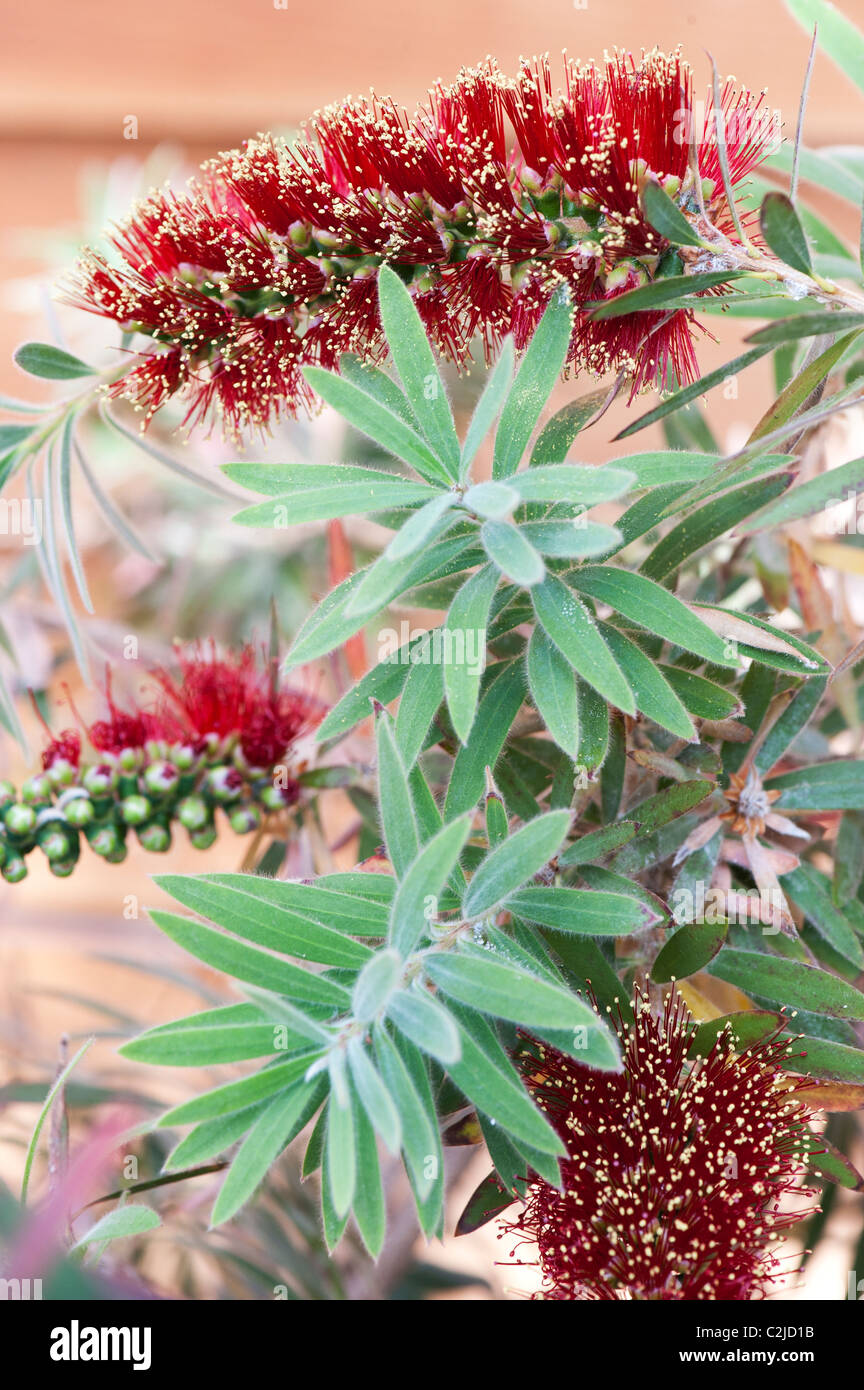 Callistemon viminalis 'little john' . Weeping Bottlebrush tree in flower - Stock Image