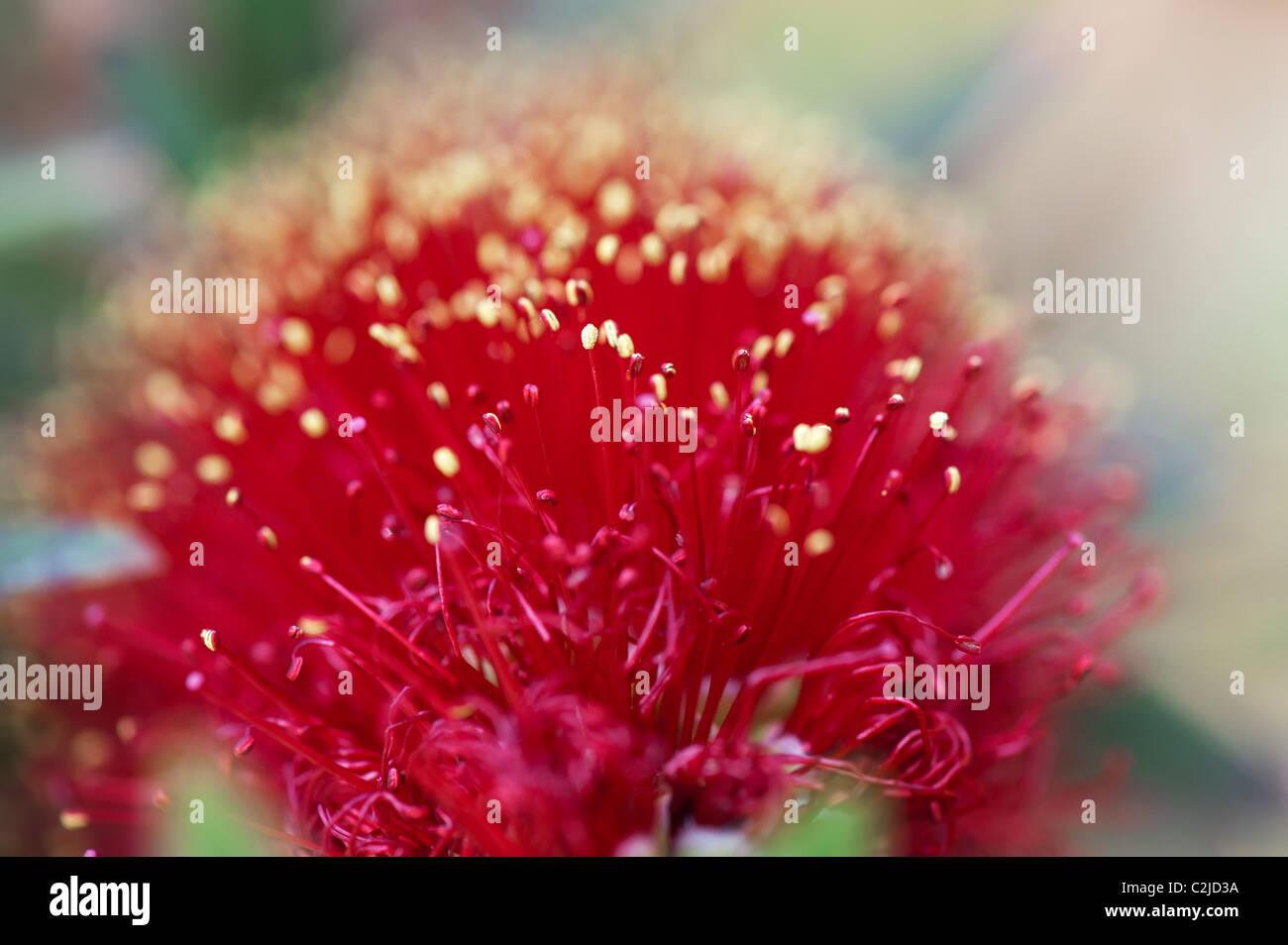 Callistemon viminalis 'Little John'. Bottlebrush 'Little John' flower - Stock Image
