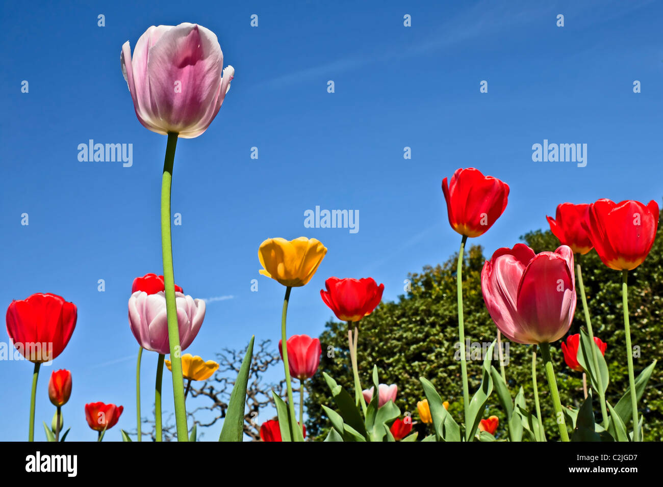 spring feeling - tulips - Stock Image