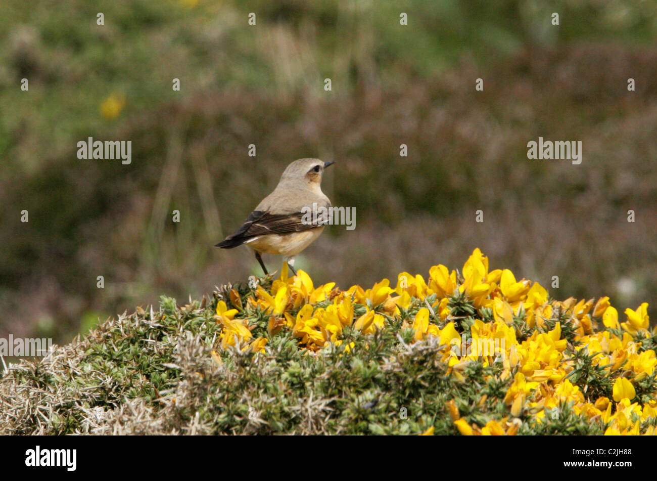 Northern Wheatear, Oenanthe oenanthe, Muscicapidae. Male Bird Perched on a Gorse Bush, Cornwall, UK. - Stock Image