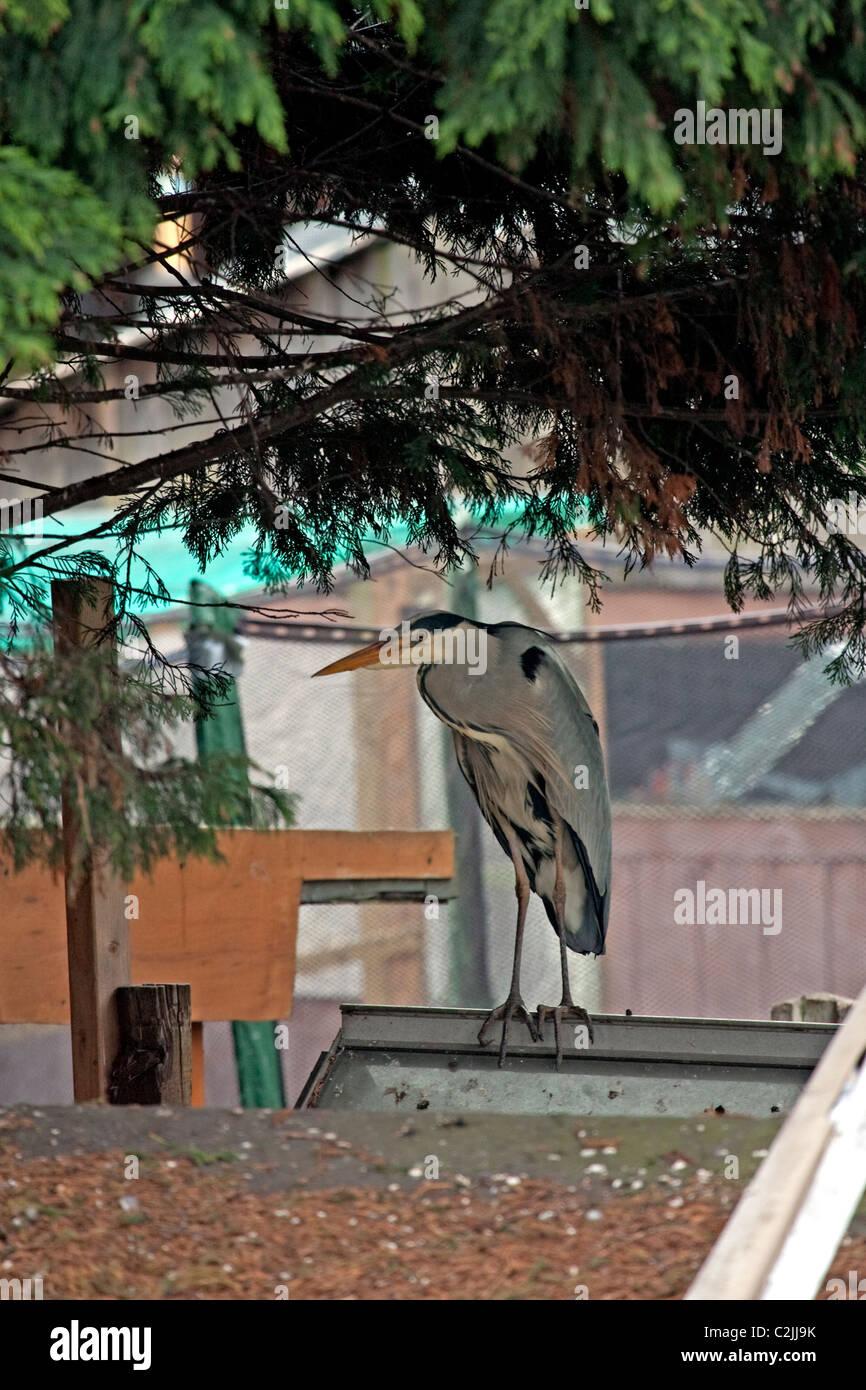 Urbanized Grey Heron - Stock Image