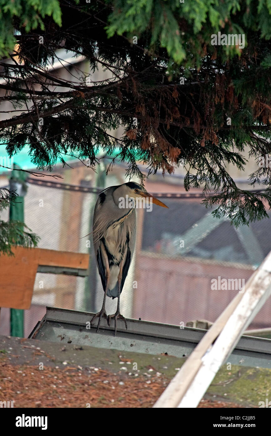 Urbanized Grey Heron - Stock Image