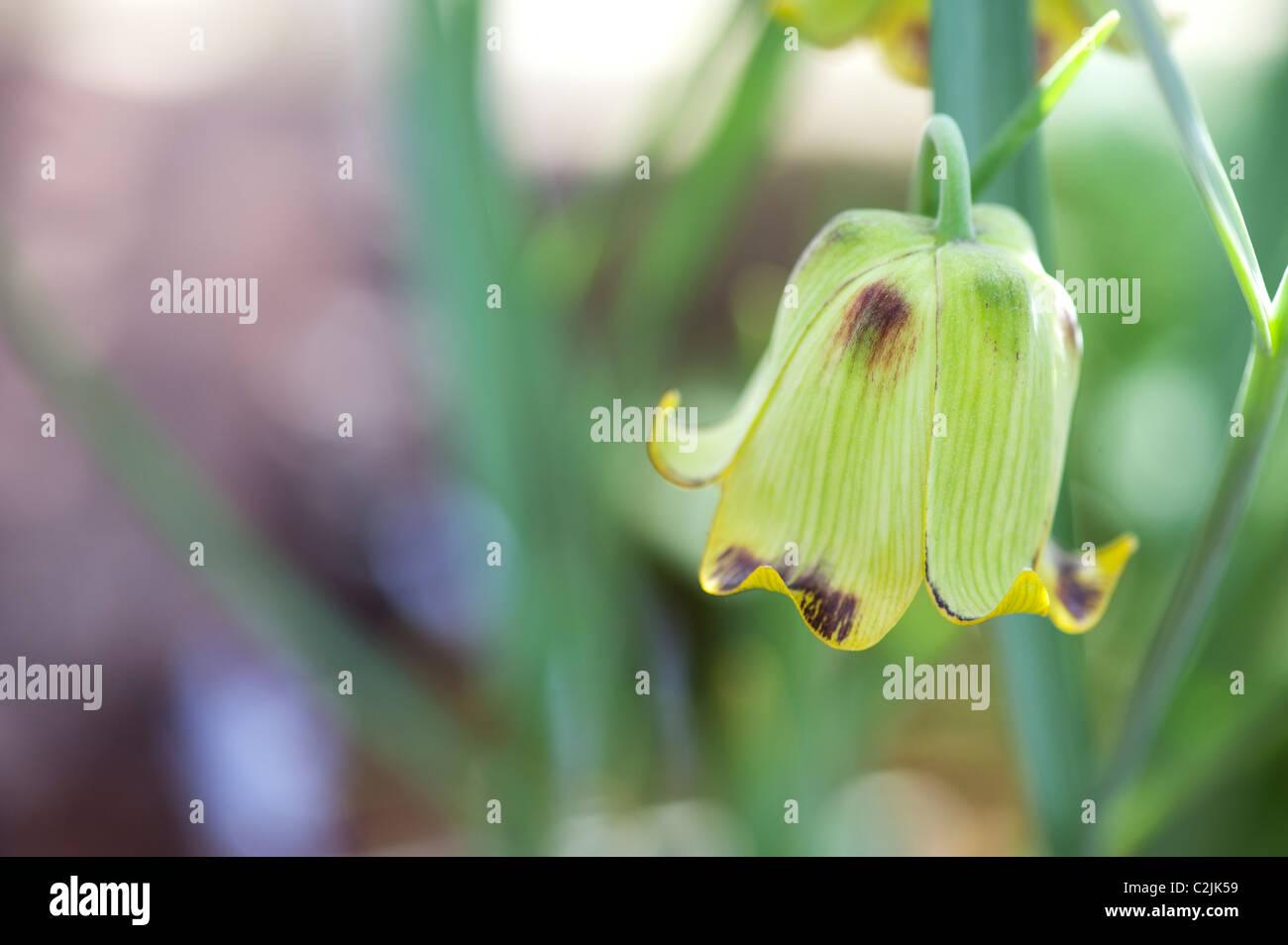 Fritillaria acmopetala. Fritillary flower. Cyprian Missionbells in RHS Wisley gardens alpine house in spring. UK Stock Photo
