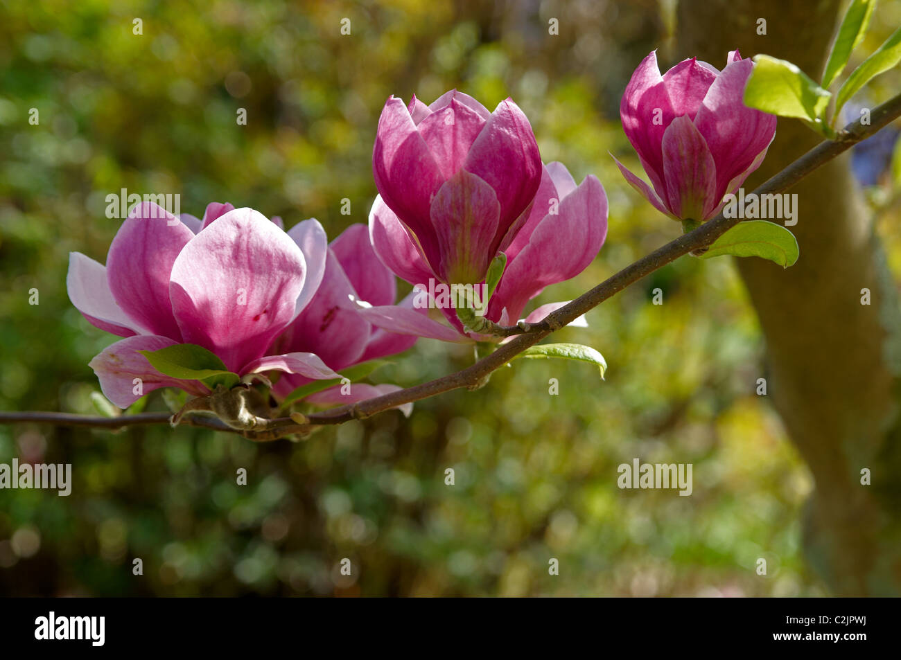 Pink Magnolia Flowers On A Slender Branch Stock Photo 36063150 Alamy