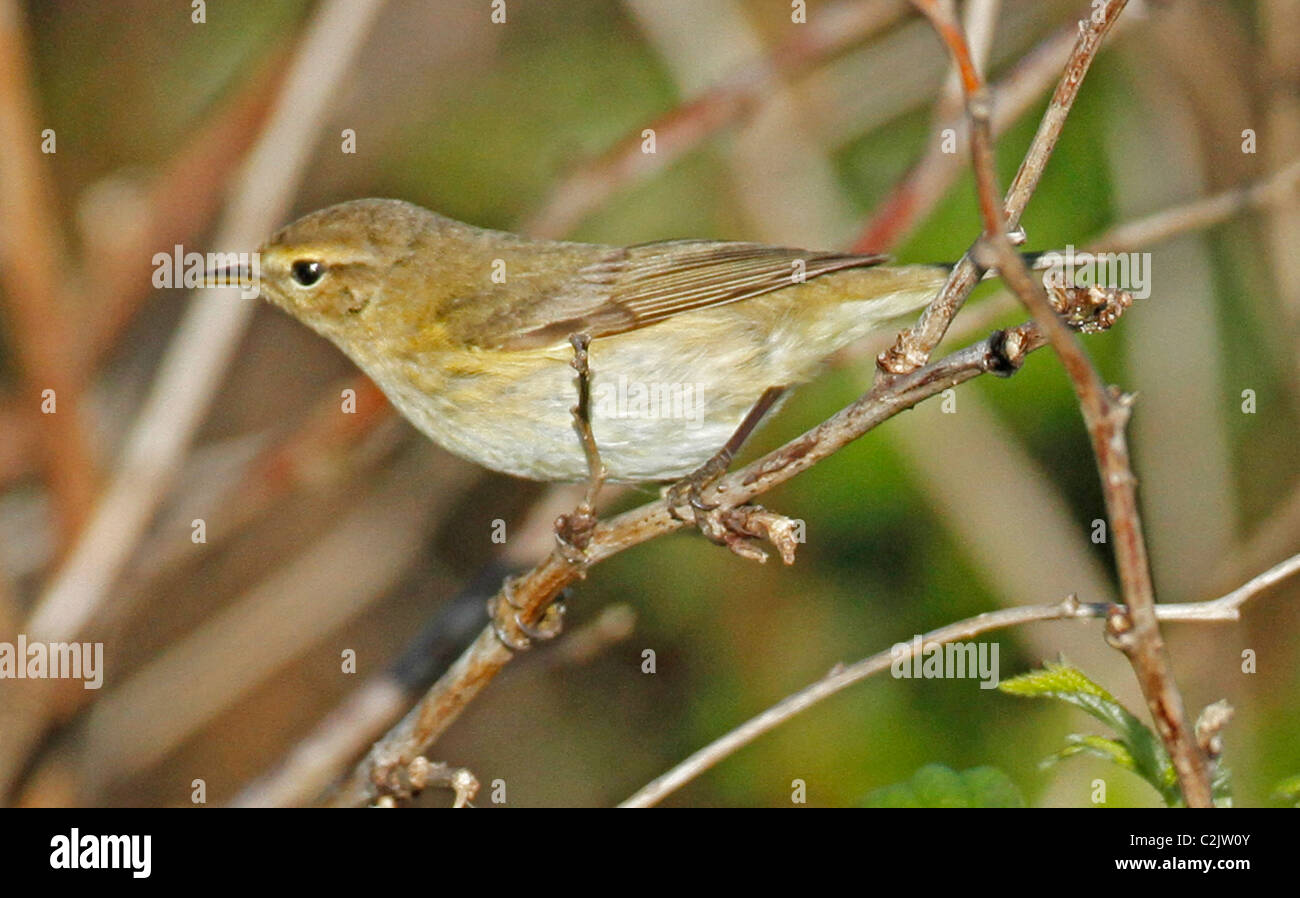 Willow Warbler ,Phylloscopus trochilus, perching in brambles Stock Photo
