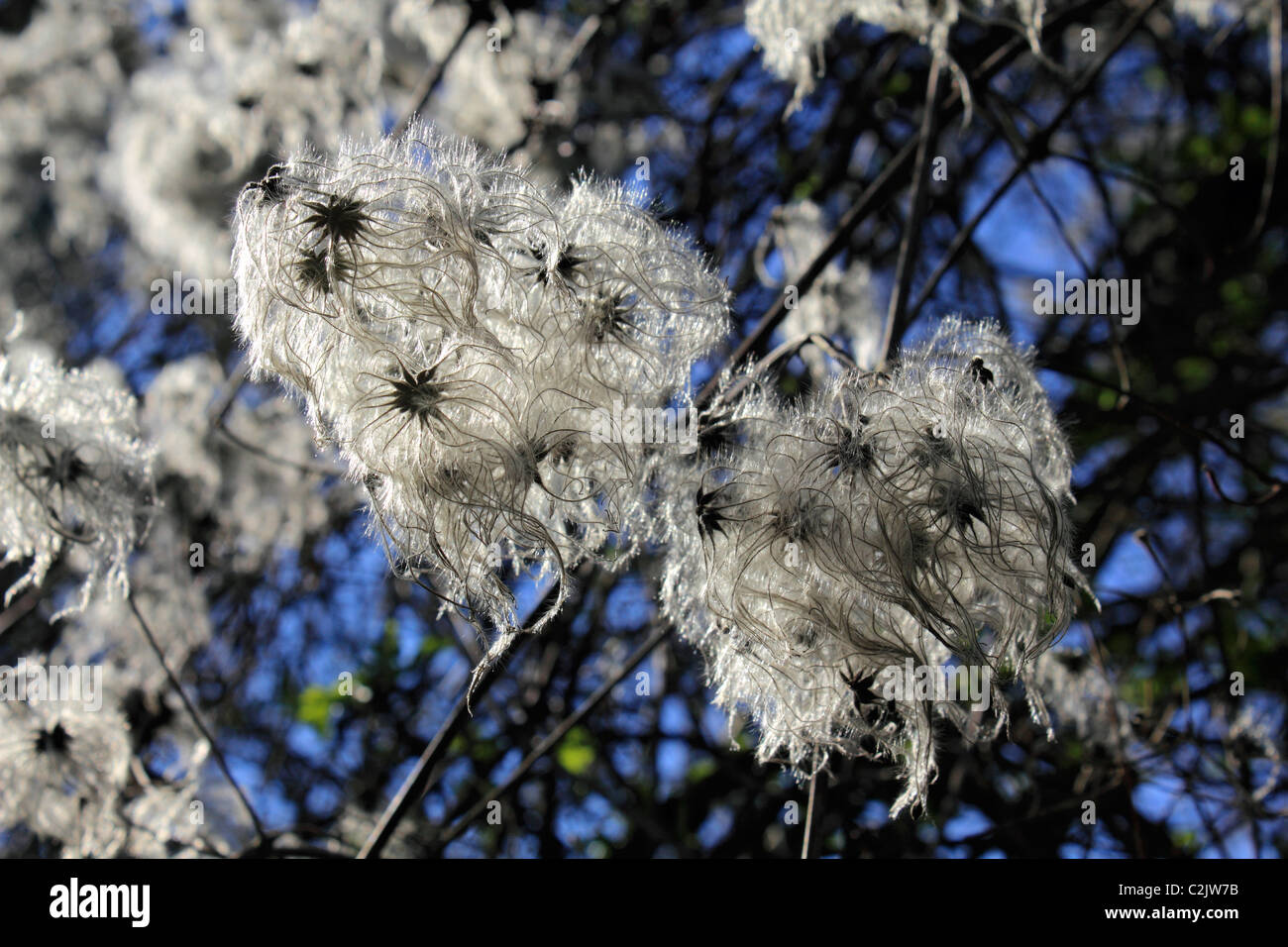 Clematis vitalba - known as Old man's beard or Traveller's Joy, a climbing shrub of the Ranunculaceae family. - Stock Image
