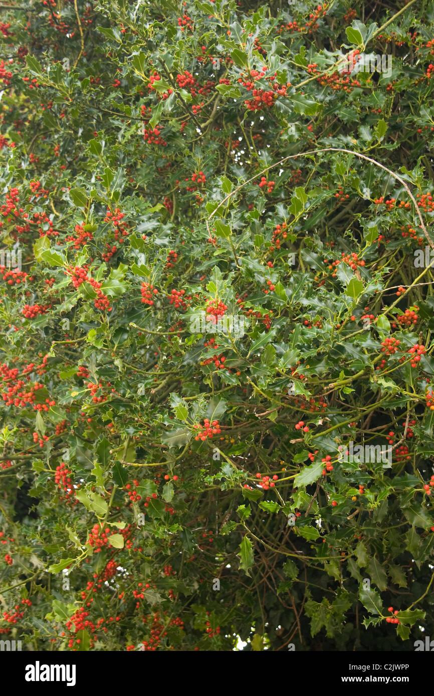 holly bush berries deep green leaf leaves spike prickle winter fruit festive christmas xmas yule - Stock Image