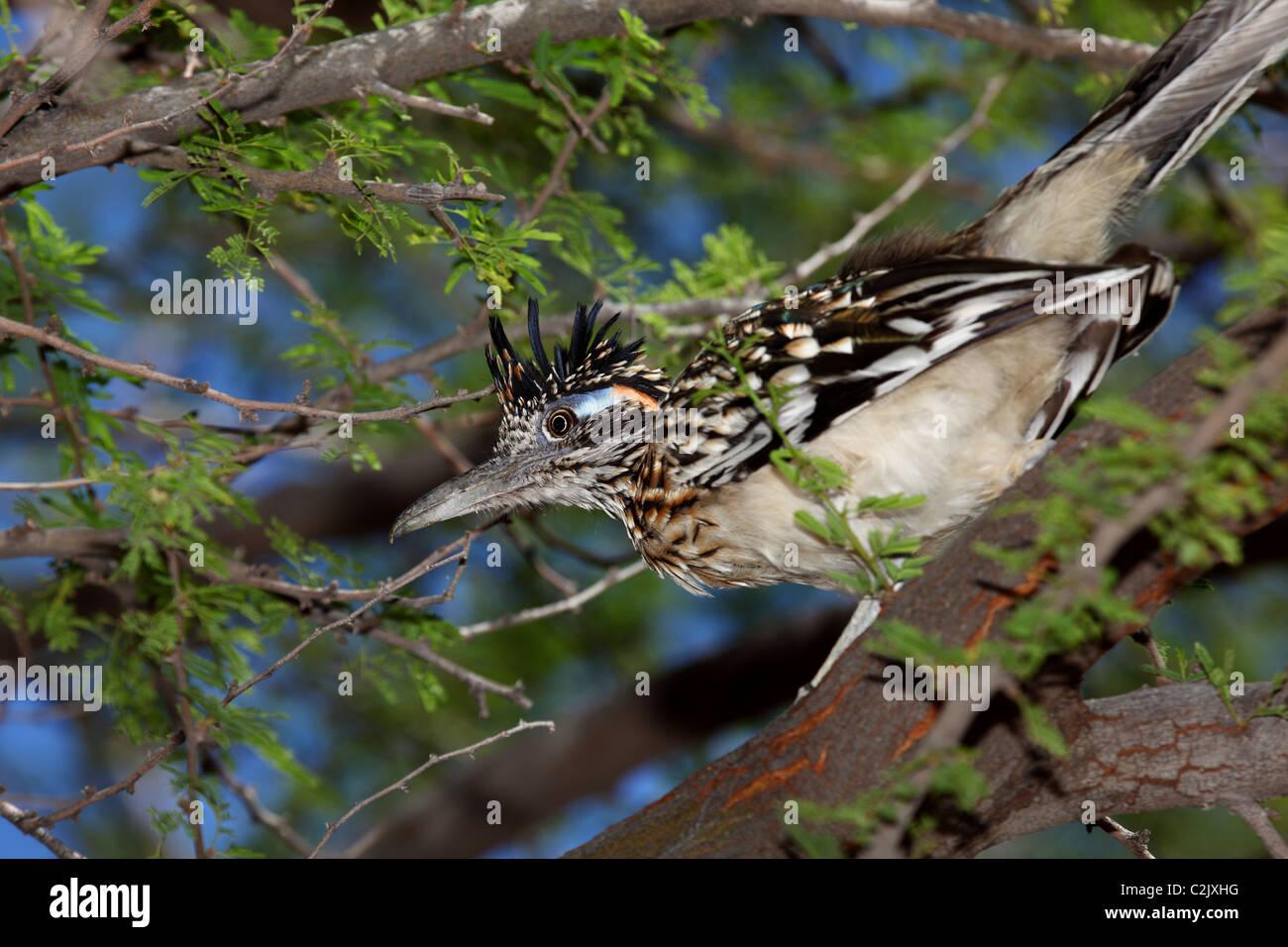 Roadrunner in a mesquite tree - Stock Image