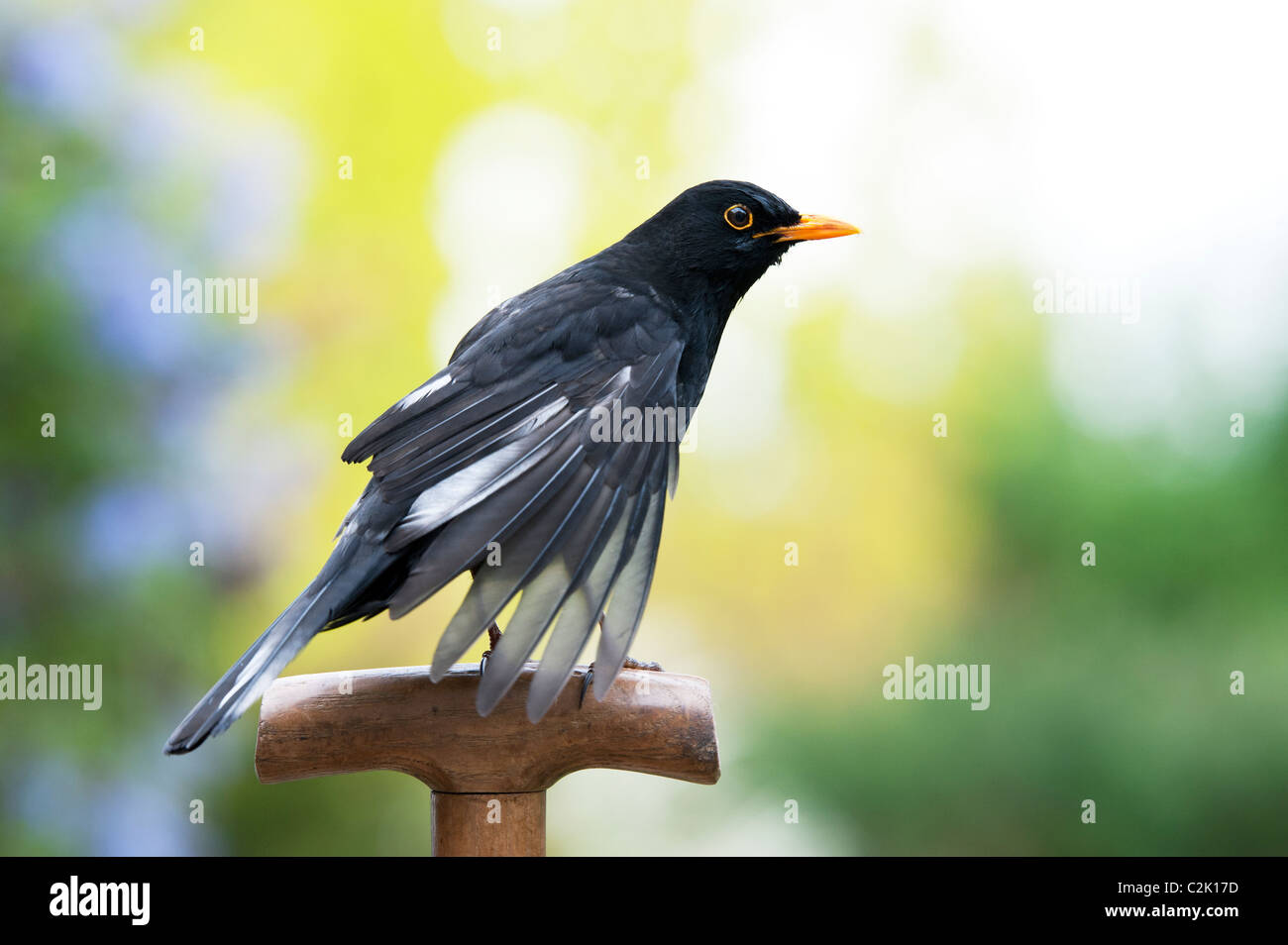 Blackbird on a wooden garden fork handle - Stock Image