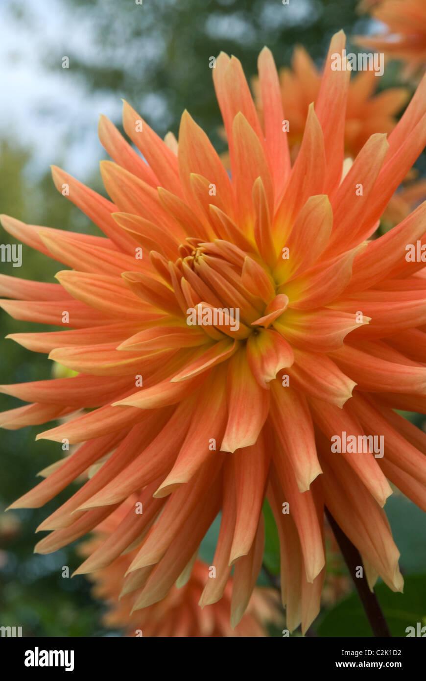 Stock photo of orange dahlia in garden. Stock Photo