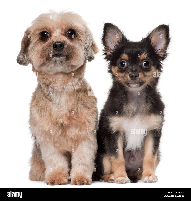 Shih Tzu Pup Stock Photos Shih Tzu Pup Stock Images Alamy