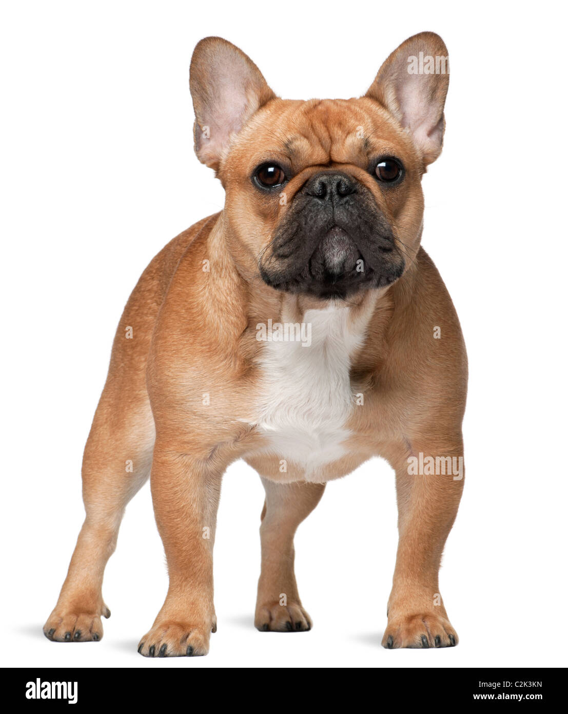 French bulldog, 9 months old, standing in front of white background - Stock Image