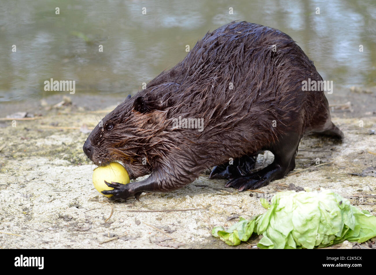 North American Beaver (Castor canadensis), view of profile, and eating apple on the bank of pond Stock Photo