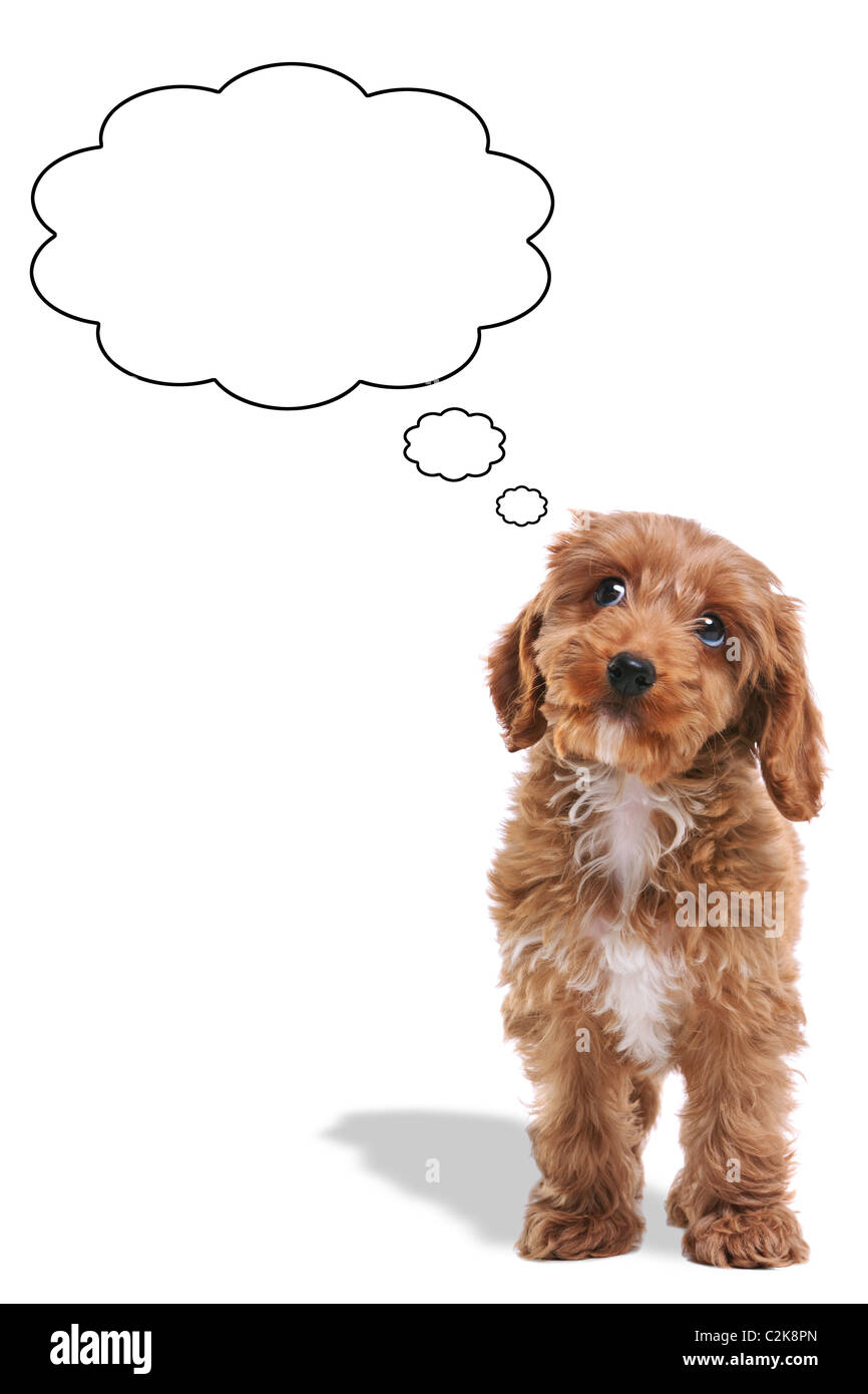 Photo of a Cockerpoo puppy with a thoughtful expression and his eyes looking up, thought bubbles added. - Stock Image