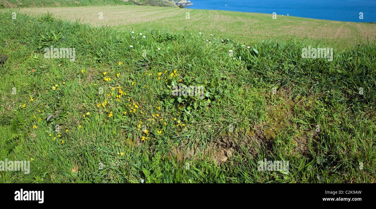 Hedgerow bank verge spring plants island Sark Channel Islands - Stock Image
